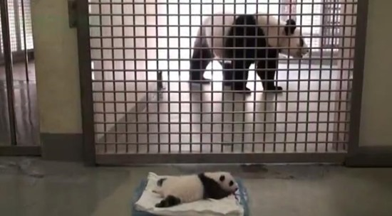 Bebê Panda Gigante 01