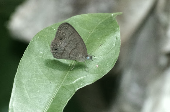 Probablement : Paryphthimoides poltys PRITTWITZ, 1865. Sertao de Barra do Una (Sao Sebastiao, SP). 19 février 2012. Photo : J.-M. Gayman