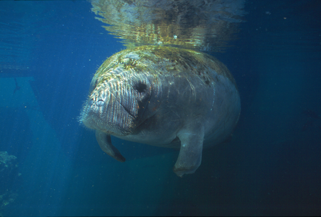 Ariel is an endangered West Indian manatee rescued from Lake Worth, rehabilitated at the Miami Seaquarium, and now lives at Homosassa Springs Wildlife State Park. Photo: Patrick M. Rose