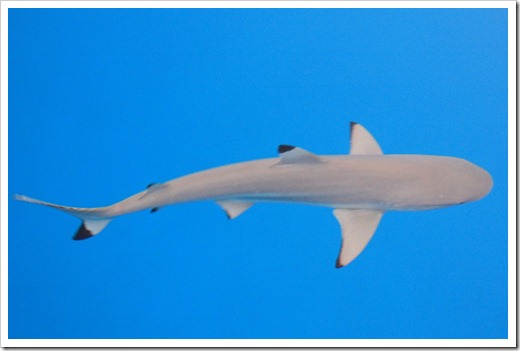 Black tip in Mopelia