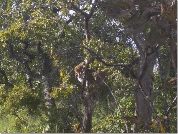 Baboons Mole National Park