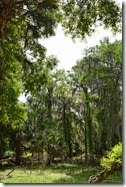Tall oaks with spanish moss