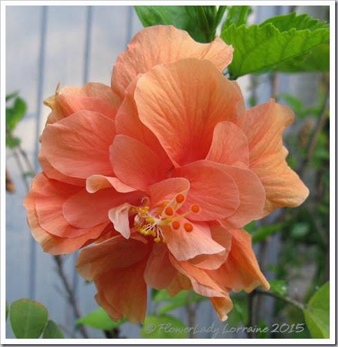 01-23-hibiscus2