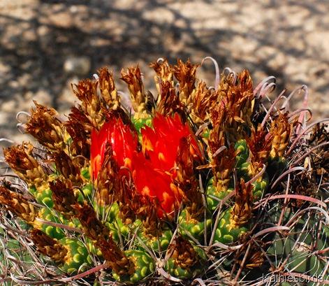 11. barrel cactus-kab