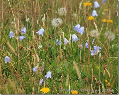 56-meadow
