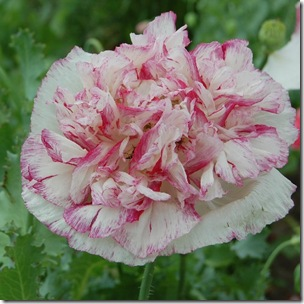 Papaver Flemish Antique