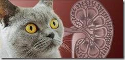 nefropatia cronica felina