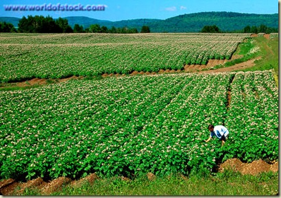 Aroostook County Potatoes