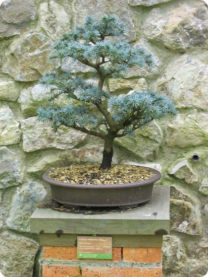Cedrus_atlantica-Glauca-Bonsai