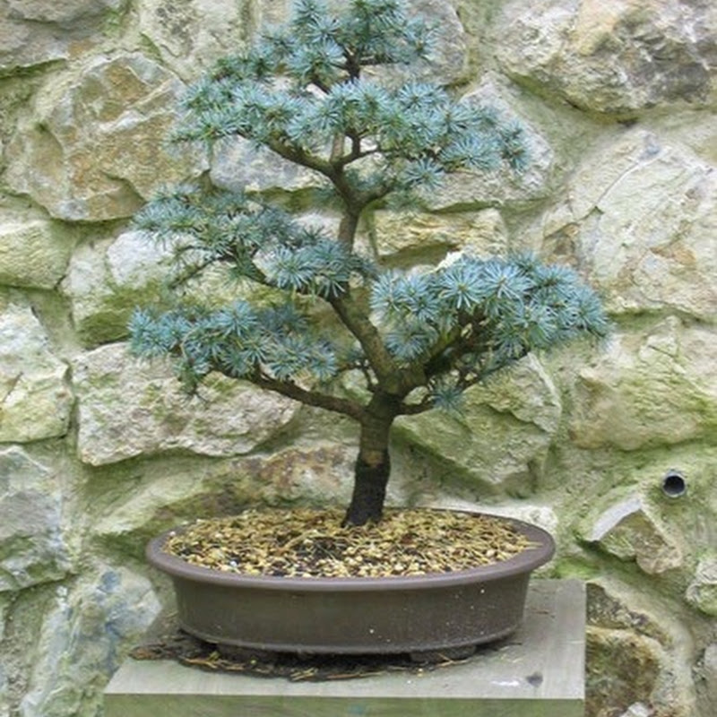 Bonsai Species Guides: Cedrus.