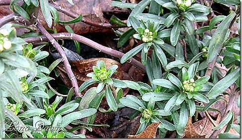 Candytuft_Buds_March13