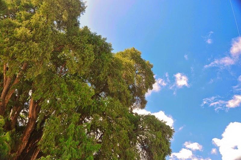 tule-tree-2