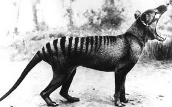 10- Tigres-da-tasmânia
