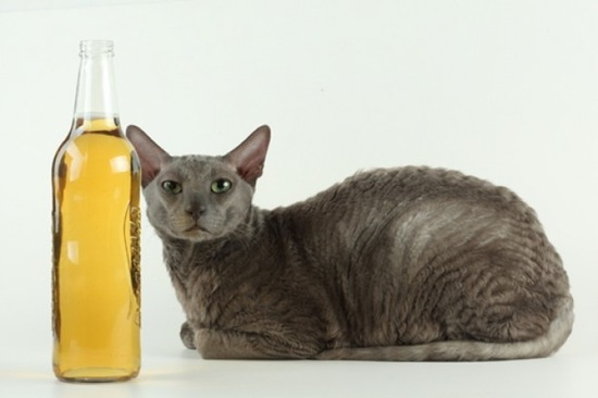 Can-cat-drink-alcohol-13