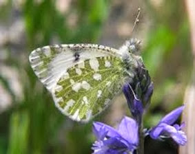 Amazing Pictures of Animals, Photo, Nature, Incredibel, Funny, Zoo, Euchloe tagis, Butterflies, Portuguese Dappled White, Alex (16)