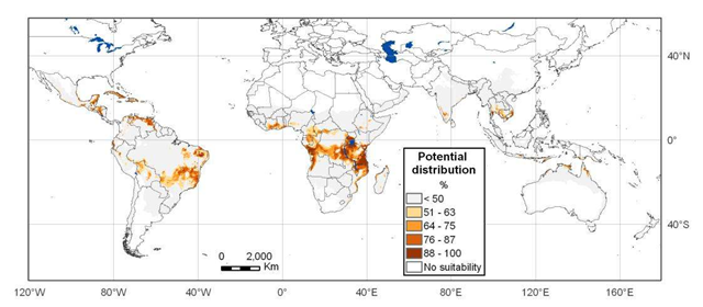 Potential global distribution of Cassava Brown Streak Disease (CBSD). A new strain of CBSD is sweeping across Africa, causing widespread cassava crop failures. Graphic: CIAT