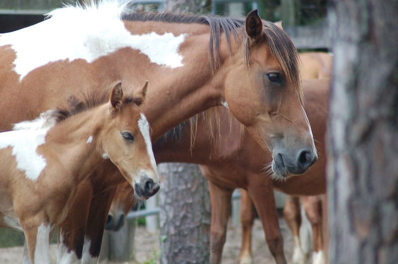 chincoteague-pony-swim-14