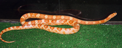 Corn Snake Jesse Jones Park