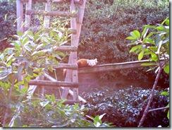2011.11.14-032 panda roux