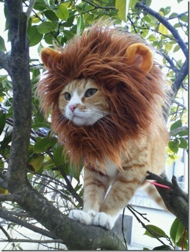 Lion cat