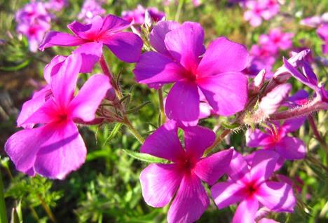 wild flowers (26)