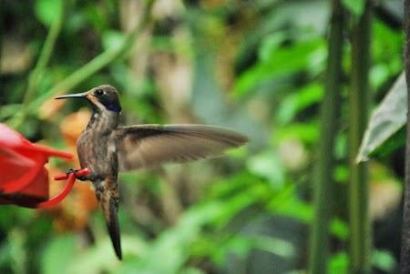Pasare colibri