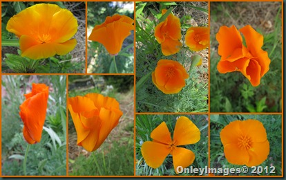 orange poppies collage