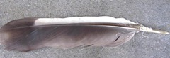black and white 5.5 inch feather