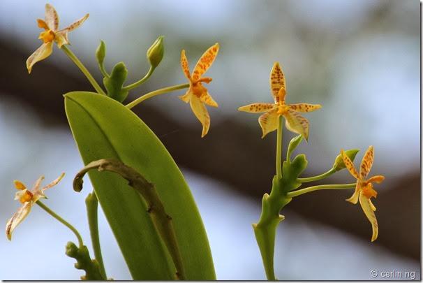 Phalaenopsis cornu-cervi (2)