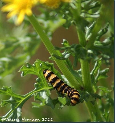 25-cinnabar-caterpillar
