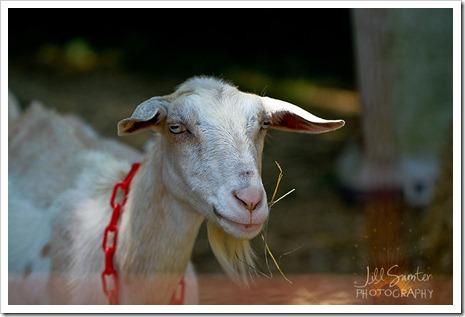 goats-5655