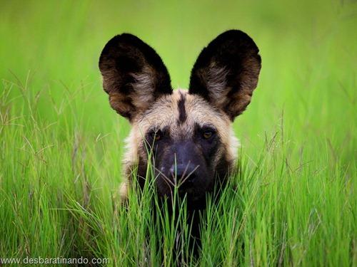 animais national geographic desbaratinando  (51)
