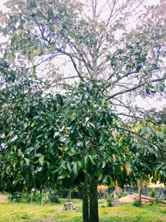 pokok manggis