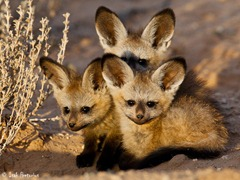 Bat Eared Fox Pups