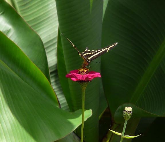 Papilio paeon paeon BOISDUVAL, 1836. Coroico (alt. 1800 m). Bolivie, 5 février 2008. Photo : J. F. Christensen
