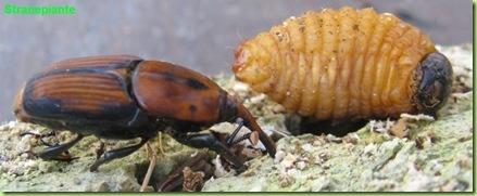 punteruolo rosso insetto e larva