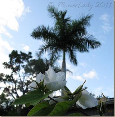 06-11-dwarf-orchid-bahinia