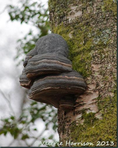5-hoof-fungi