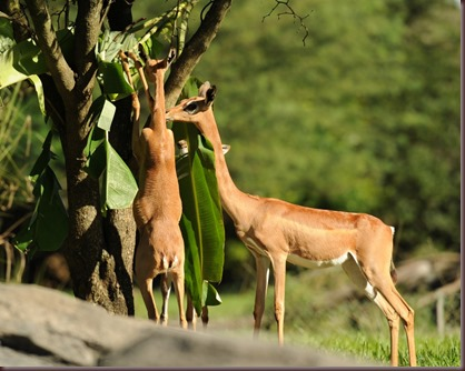 Amazing Animal Pictures Gerenuk (10)