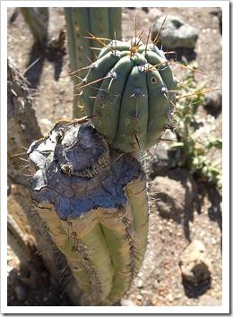 111228_UCBG_Echinopsis-peruviana_02