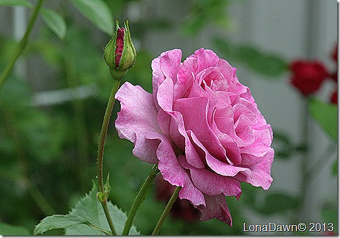 Rose_MelodyPerfume