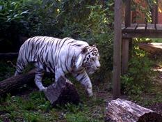 2013.08.04-048 tigre blanc