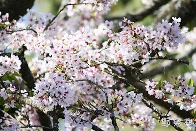 [嘉義-花木] 2012 阿里山櫻花季