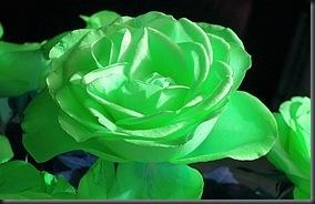 3 green rose
