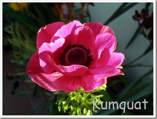 anemona 2