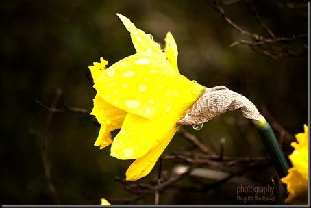 blom_20120421_daffodil