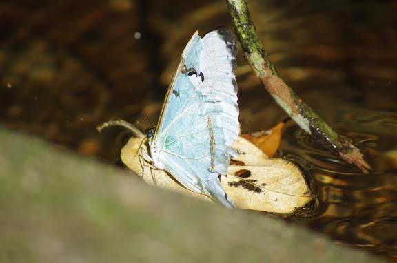 Morpho (Pessonia) epistrophus epistrophus FABRICIUS, 1796. Cachoeira do Escada, Picinguaba (SP). 6 février 2012. Photo : J.-M. Gayman