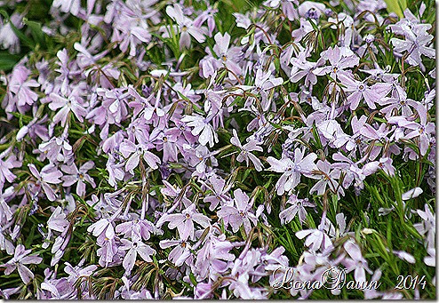 Phlox Creeping subulata