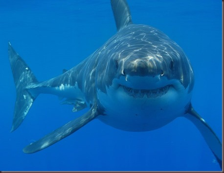 Amazing Animals Pictures White Shark (1)