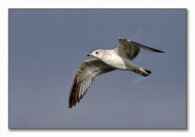K's Birds 7 C Gull